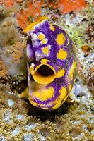 Polycarpa tunicate, Polycarpa aurata, Lembeh Strait, North Sulawesi, Indonesia,