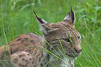 Luchs, Nordluchs, Nord-Luchs, Eurasischer Luchs, Lynx lynx, Felis lynx, Lynx, Lynx d´Europe