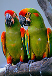 Red-fronted Macaws, endemic to mountain regions of Bolivia, South America