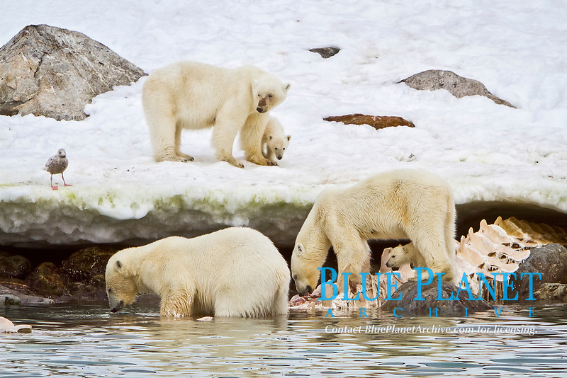 Adult male polar bear, Ursus maritimus, feeding side-by-side with a mother and COY, cub-of-year, on a fin whale carcass in Holmabukta on the northwest coast of Spitsbergen in the Svalbard Archipelago, Norway, Atlantic Ocean, polar bear, Ursus maritimus