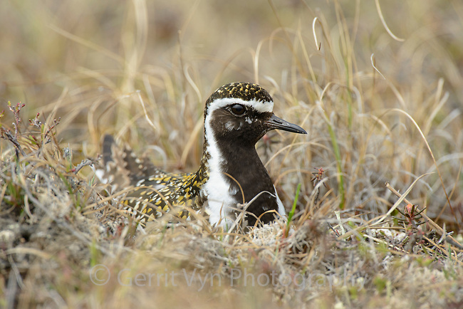 Pacific Golden-Plover (Pluvialis fulva) incubating nest. Yukon Delta National Wildlife Refuge, Alaska. June.