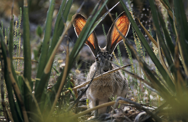 Black-tailed Jackrabbit, Lepus californicus, adult and yuccas, Big Bend National Park, Texas, USA, April 2001
