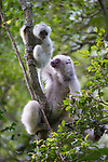 Female Silky Sifaka (Propithecus candidus) with 3-month infant. Marojejy National Park, north east Madagascar. Critically endangered.