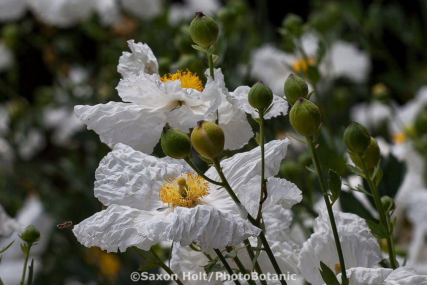 Bee on Romneya 'White Cloud' (R. coulteri x  trichocalyx) - Matilija Poppy flowering California native perennial at Tree of Life Nursery
