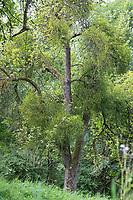 Mistel an Obstbaum, Laubholz-Mistel, Weißbeerige Mistel, Viscum album, Mistletoe, European mistletoe, common mistletoe, mistle, Le gui, gui blanc, gui des feuillus