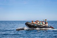 common bottlenose dolphin, Tursiops truncatus, bow-riding, Baja California Sur, Mexico, Gulf of California, Sea of Cortez, Pacific Ocean