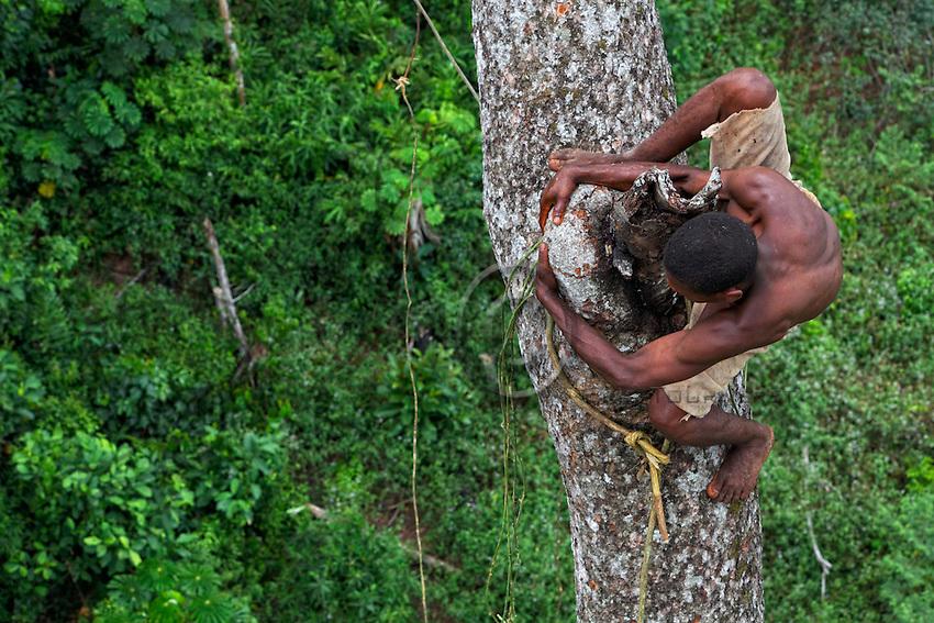 On an enormous mahogany tree 50 metres high, the honey-hunter perched on the trunk passes a branch with dexterity. The pygmies are excellent climbers, athletes of the forest who accomplish feats every day in harvesting the honey. ///Sur un énorme acajou de plus de 50 mètres de hauteur, le chasseur juché sur le tronc passe avec dextérité une branche. Les pygmées sont d'excellents grimpeurs, des athlètes de la forêt qui réalisent chaque jour des prouesses pour récolter le miel.