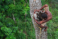 On an enormous mahogany tree 50 metres high, the honey-hunter perched on the trunk passes a branch with dexterity. The pygmies are excellent climbers, athletes of the forest who accomplish feats every day in harvesting the honey. ///Sur un énorme acajou de plus de 50 mètres de hauteur, le chasseur juché sur le tronc passe avec dextérité une branche. Les pygmées sont d'excellents grimpeurs, des athlètes de la forêt qui réalisent chaque jour des prouesses pour récolter le miel.