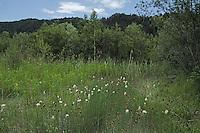 Zwerg-Rohrkolben, Kleiner Rohrkolben, Zwergrohrkolben, Typha minima, Dwarf Bulrush, Miniature Cattail, Least Bulrush