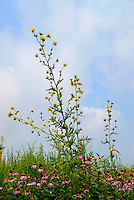 A couple of 8 foot tall blooming Compass Plants (Silphium laciniatum) tower over Purple Coneflower (Echinacea purpea) and other tallgrass prairie species below it in a restored tallgrass prairire. The common name of this wildflower native to North America comes from the tendency of its pinnate leaves to orient North-South. Its taproot may grow down 6-14 feet, making it drought and fire resistant.