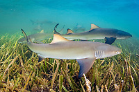 lemon shark, Negaprion brevirostris, pup, swimming over seagrass bed, Florida Bay, Everglades National Park, Florida, USA, Gulf of Mexico, Atlantic Ocean