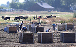 Workers harvest garlic at a Minden, Nev. ranch on Thursday, Aug. 24, 2011..Photo by Cathleen Allison