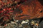 Moray Eel at Denham Bay, Raoul Island, Kermadecs.