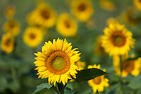 Beautiful sunflowers bloom in a sunflower field on a late summer day.