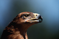 Portrait of a Tawny eagle (Aquila rapax) with open beak.