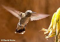 0201-1203  Female Anna's Hummingbird in Flight, Calypte anna  © David Kuhn/Dwight Kuhn Photography