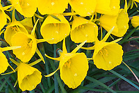 Narcissus bulbocodium 'Classic Gold' 38, dwarf daffodil