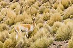 Vicuna (Vicugna vicugna) in dry puna grassland, Abra Granada, Andes, northwestern Argentina