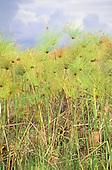 Zambia. Papyrus reeds (Cyperus papyrus).