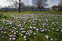 22/03/15  <br /> <br /> Crocuses in the spring sunshine at Sheffield Botanical Gardens.<br /> <br /> All Rights Reserved - F Stop Press.  www.fstoppress.com. Tel: +44 (0)1335 418629 +44(0)7765 242650
