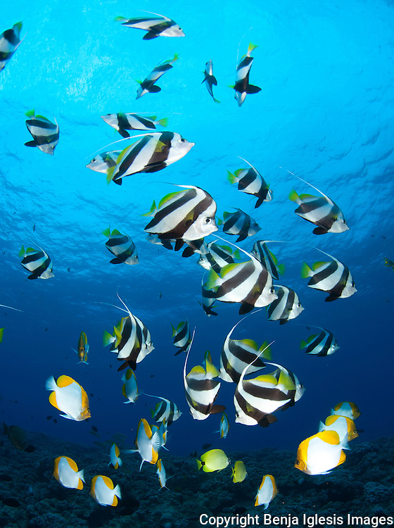 A few pennant butterflyfish swimming and fedding at Molokini mid reef site.Molokini Maui Hawaii