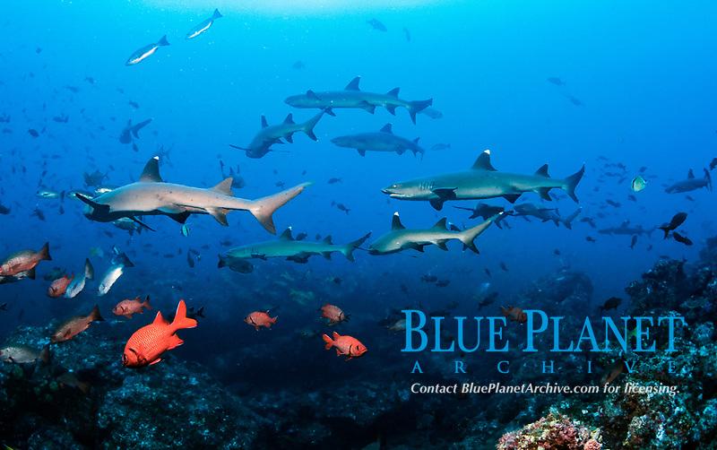 whitetip reef shark, Triaenodon obesus, bigscale soldierfish, Myripristis berndti, Cocos Island, Cocos Island National Park, Costa Rica, Pacific Ocean