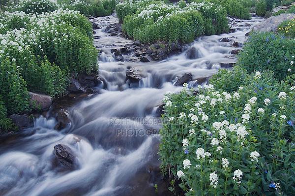 Mountain stream and wildflowers,Heartleaf Bittercress,Cardamine cordifolia, Ouray, San Juan Mountains, Rocky Mountains, Colorado, USA