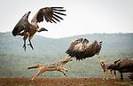 Jackal fights vultures for food by Steve Roos