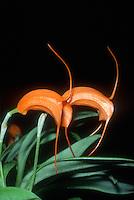 Masdevallia hirtzii, orchid species, orange flowers and foliage