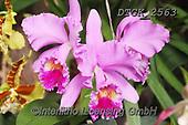 Gisela, FLOWERS, BLUMEN, FLORES, photos+++++,DTGK2563,#f#, EVERYDAY ,orchids