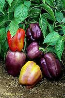 HS41-071x  Pepper - sweet bell pepper, Islander variety