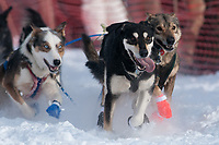 Kurt Reich's lead dogs at the Restart of the 2009 Iditarod in Willow, Alaska