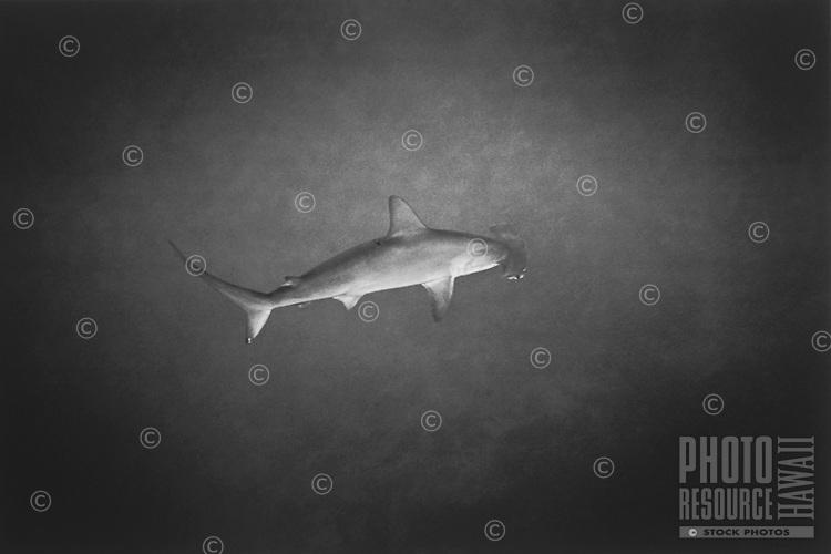 Hammerhead Shark, Honaunau Bay, Big Island of Hawaii