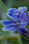 Blue Lobelia wildflower, covered with frost