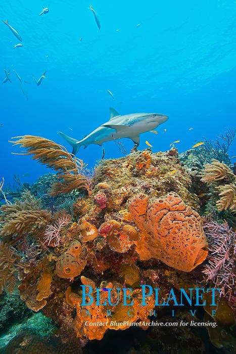 Caribbean Reef Shark, Carcharhinus perezii, swimming over coral reef, West End, Grand Bahama, Bahamas, Caribbean, Atlantic Ocean