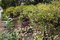 Evergreen shrub hedge, Vine Hill Manzanita, Arctostaphylos densiflora by sidewalk in Kyte California native plant drought tolerant front yard garden