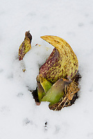 Symplocarpus foetidus flowers in snow (Skunk Cabbage) winter bloom melting snow
