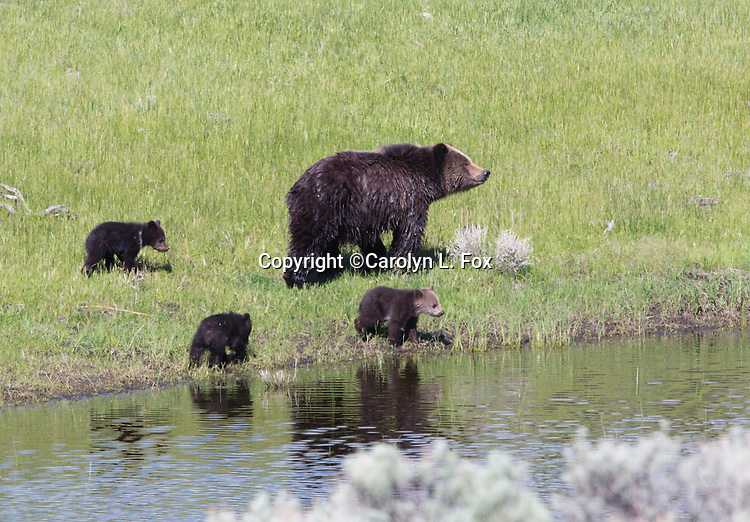 Grizzly bears live in Yellowstone National Park.
