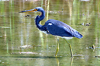 Tricolored heron in non-breeding plumage wades in a pool