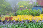 Vashon-Maury Island, WA: Summer perennial garden featuring Walker's Low Catmint (Nepeta racemos), sedum 'Angelina', cosmos and penstemon in bloom with a light clearing fog