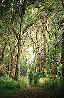 A view of a hiking trail behind the Pupukea Boy Scout camp with sunlit trees in the background on O'ahu.