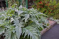 Silver, gray foliage Cardoon, edible plant in Rosalind Creasy front yard garden