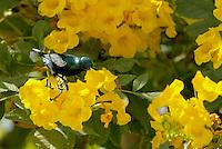 Stock image of Purple Sunbird male feeding from flower.