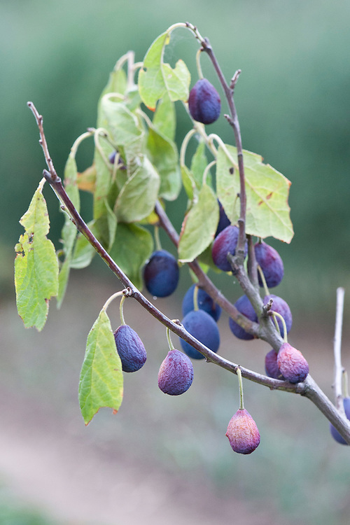 A young damson tree afflicted with dieback, early August. New leaves wither and die, and fruit fails to develop. It can be caused by a number of different infections.