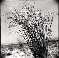 Ocotillo plant<br />