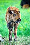 Bison calf sticking tongue out in Custer State Park, South Dakota