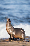 La Jolla, California; a California sea lion pup basking in early morning sunlight, while resting on the rocky shoreline, as waves from the Pacific Ocean crash in the background
