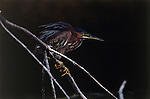 Portrait of a green heron perched on a branch in Florida.