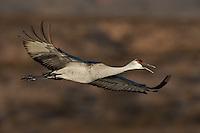 Sandhill Crane, Bosque del Apache NWR, New Mexico