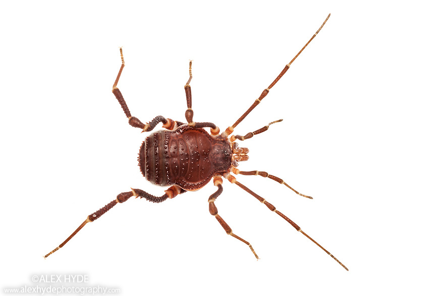 Harvestman {Metagyndes innata} photographed on a white background. Captive, originating from Chile. website